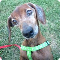 Adopt A Pet :: Holster - Cumberland, MD