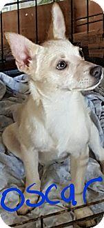 Chihuahua/Pomeranian Mix Puppy for adoption in Ararat, Virginia - Oscar
