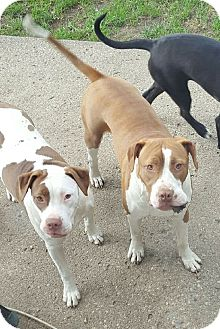 Boxer/Pit Bull Terrier Mix Dog for adoption in Garden City, Michigan - Gracie