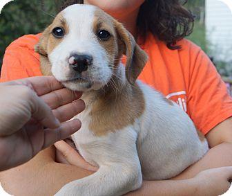 Australian Shepherd/Boxer Mix Dog for adoption in Newark, Delaware - Nod
