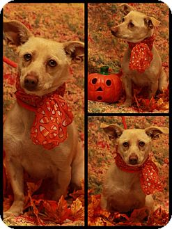 Dachshund/Chihuahua Mix Dog for adoption in Twin Falls, Idaho - Kelly
