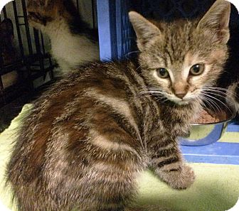 Domestic Shorthair Kitten for adoption in East Brunswick, New Jersey - Gianna