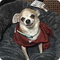 Chihuahua Dog for adoption in Vernon, Connecticut - Dreamer & Daisy