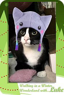 Domestic Shorthair Kitten for adoption in East Brunswick, New Jersey - Luke