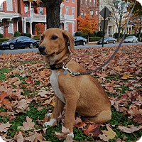 Hound (Unknown Type) Mix Puppy for adoption in Richmond, Virginia - Sax