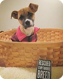 Boxer/Shepherd (Unknown Type) Mix Puppy for adoption in Newport, Kentucky - Scully