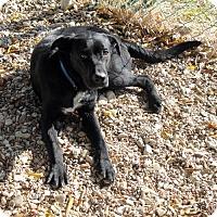 Australian Cattle Dog Mix Puppy for adoption in Waco, Texas - Yosemite Sam
