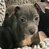 Adopt A Pet :: Prue - Las Vegas, NV