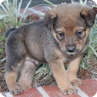 Pet not foundAustralian Shepherd Rottweiler Mix Information