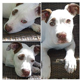 American Pit Bull Terrier Mix Puppy for adoption in Davie, Florida - Lucy