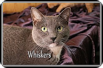 Manx Cat for adoption in Wichita Falls, Texas - Whiskers
