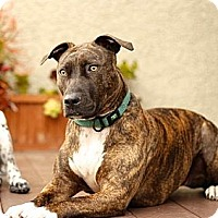 Adopt A Pet :: Roxy - Valley Village, CA