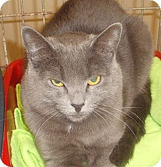 Domestic Shorthair Cat for adoption in Germansville, Pennsylvania - Steele
