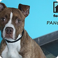 Adopt A Pet :: Pancakes - Chicago, IL