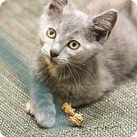 Adopt A Pet :: Anjali - Chicago, IL