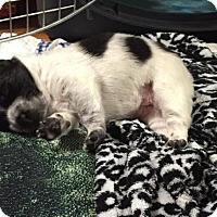 Adopt A Pet :: Nelli - Brattleboro, VT