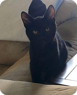 Domestic Shorthair Kitten for adoption in Colmar, Pennsylvania - James Bond