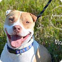American Staffordshire Terrier/Shar Pei Mix Dog for adoption in Wymore, Nebraska - Marley