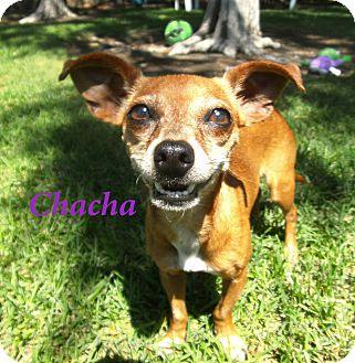 Chihuahua Mix Dog for adoption in El Cajon, California - Chacha