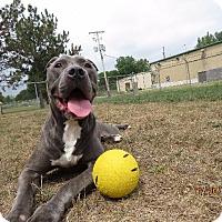 Pit Bull Terrier Dog for adoption in Van Wert, Ohio - BLUE