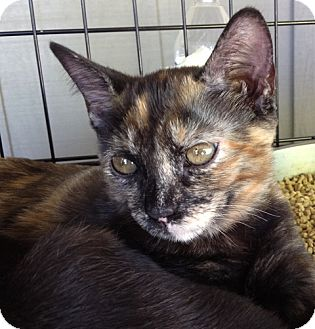 Domestic Shorthair Kitten for adoption in Los Angeles, California - Posey