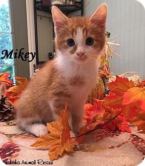 Domestic Shorthair Kitten for adoption in Huntsville, Ontario - Mikey - Likes belly rubs!