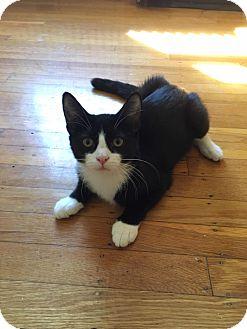 Domestic Shorthair Kitten for adoption in Bensalem, Pennsylvania - Lana