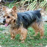 Yorkie, Yorkshire Terrier Dog for adoption in Norfolk, Virginia - PEANUT