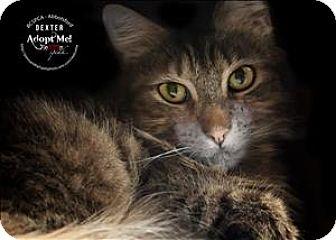 Domestic Mediumhair Cat for adoption in Abbotsford, British Columbia - Dexter