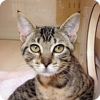 Domestic Shorthair Kitten for adoption in Dallas, Texas - Donatella