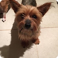 Yorkie, Yorkshire Terrier Dog for adoption in Parker Ford, Pennsylvania - Friskey