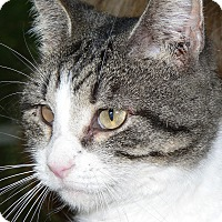 Domestic Shorthair Cat for adoption in Freehold, New Jersey - Sweet Pea