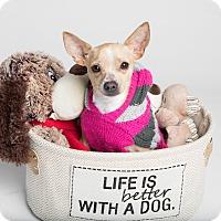 Adopt A Pet :: Little Bit - Austin, TX