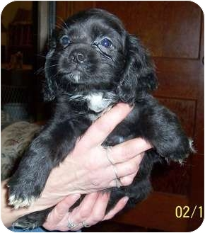 Pekingese/Cocker Spaniel Mix Puppy for adoption in Washburn, Missouri - Tyler