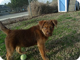 Shepherd (Unknown Type)/Chow Chow Mix Puppy for adoption in Gadsden, Alabama - Violet