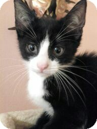 Domestic Shorthair Kitten for adoption in Horsham, Pennsylvania - Sylvester