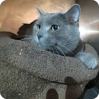 Domestic Shorthair Cat for adoption in Geneseo, Illinois - Ashes