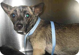 Chihuahua/Dachshund Mix Dog for adption in Long Beach, California - Ava