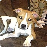Adopt A Pet :: Opie - Nashua, NH