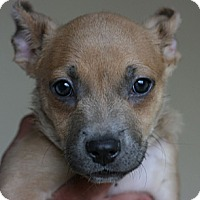 Adopt A Pet :: Sheperd mix puppies - Canoga Park, CA