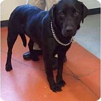 Adopt A Pet :: Pippa - Cumming, GA