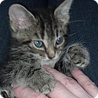 Adopt A Pet :: Anika (bottle fed) - Sterling Hgts, MI