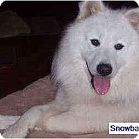 Adopt A Pet :: Snowball - Arvada, CO
