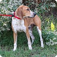 Adopt A Pet :: *Archie - PENDING - Westport, CT