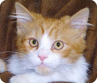 Domestic Mediumhair Cat for adoption in Renfrew, Pennsylvania - Tyler