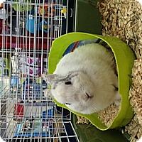 Adopt A Pet :: Bunny - Corona, CA