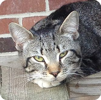 Domestic Shorthair Cat for adoption in Walden, New York - Guiness