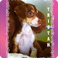 Adopt A Pet :: TRISTAN - Higley, AZ