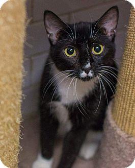 Domestic Shorthair Cat for adoption in New York, New York - Keira