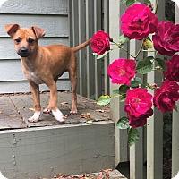 Adopt A Pet :: Bubbles - Tumwater, WA